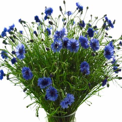 Flowers-by-Season-March-Cornflower