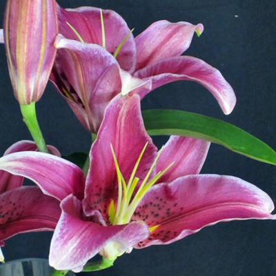 Flowers-by-Season-March-Lilly
