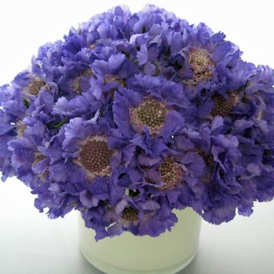 Flowers-by-Season-March-Scabiosa