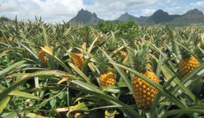 Harvesting Pineapples Must peek header Graphic