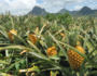 See How Dole Pineapples are Harvested