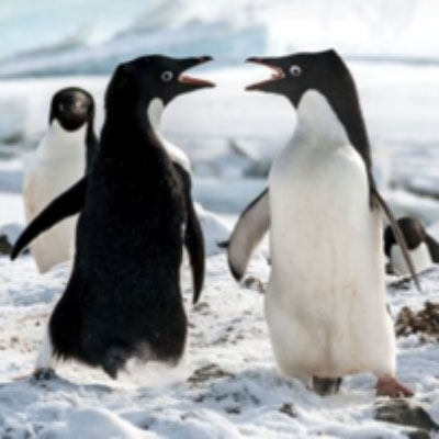 Jane Goodall and the Penguins