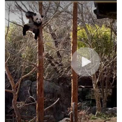 snippets of panda cams